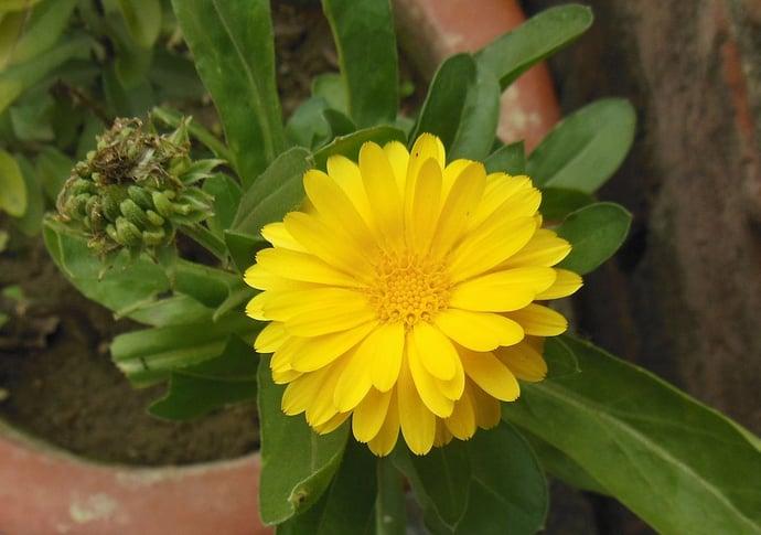 Marigold in pot