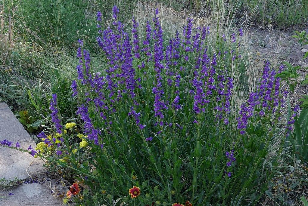 Penstemon Strictus - Rocky Mountain Penstemon