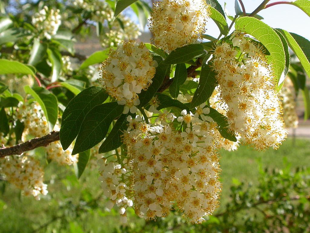 Prunus Virginiana Common Chokecherry