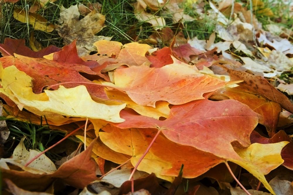 Fall leaves in yard